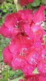 Rode Gladiolas met regen royalty-vrije stock afbeeldingen