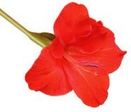 Rode Gladiolen Royalty-vrije Stock Fotografie