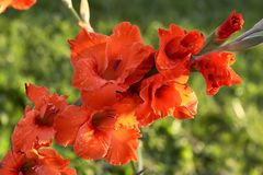 Rode gladiolen Stock Foto