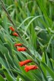 Rode Gladiolenbloem Royalty-vrije Stock Fotografie
