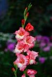 Rode gladiolenbloem Royalty-vrije Stock Afbeeldingen
