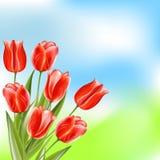 Rode glanzende tulpen op de achtergrond van de de zomeraard Royalty-vrije Stock Foto