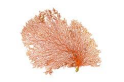 Rode Gorgonian of rood overzees die ventilatorkoraal op witte achtergrond wordt geïsoleerd Stock Afbeeldingen