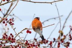 Rode goudvink Vogel op de boom siberië Royalty-vrije Stock Foto