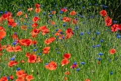 Rode graanpapavers en blauwe korenbloemen royalty-vrije stock afbeelding
