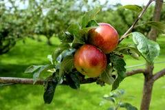 Rode/groene appelen in een Engelse tuin/een boomgaard Royalty-vrije Stock Foto's