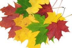 Rode, groene en gele esdoornbladeren Stock Foto