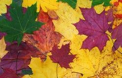 Rode, groene en gele esdoornbladeren Stock Fotografie