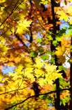 Rode, groene en gele esdoornbladeren in daling Stock Afbeelding