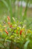 Rode Groene Spaanse pepers op boom, Thailand stock afbeelding