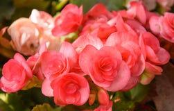 Rode grote begonia Royalty-vrije Stock Foto's