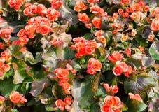 Rode grote begonia's Royalty-vrije Stock Fotografie