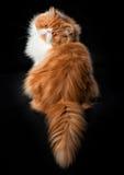 Rode grote Perzische kattenkosten op donkere achtergrond Stock Afbeeldingen