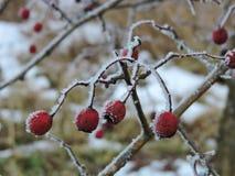 Rode haagdoornbessen op tak in de winter Stock Foto's