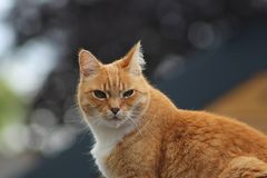 Rode haired kat die de camera bekijken royalty-vrije stock foto's