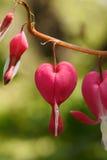 Rode hartbloemen Stock Fotografie