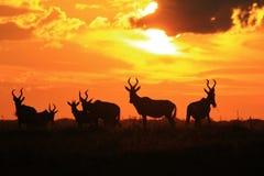 Rode Hartebeest - het Wildachtergrond - de Gouden Kleuren van de Aard van Gunst stock fotografie