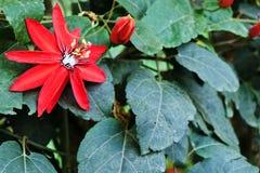 Rode Hartstochtsbloem royalty-vrije stock afbeelding
