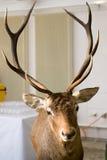 Rode herten royalty-vrije stock afbeeldingen