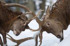 Rode herten stock foto's