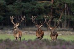 Rode Herten royalty-vrije stock foto's