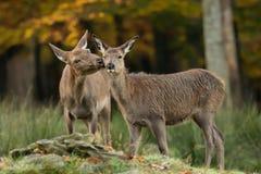 Rode herten Stock Afbeelding