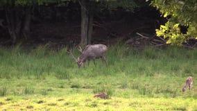 Rode herten stock videobeelden
