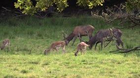 Rode herten stock footage