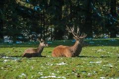 Rode herten in Baiersbronn stock foto's