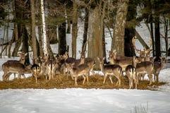 Rode herten bij een zoute lik in een Russisch nationaal Park royalty-vrije stock foto's
