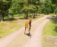 Rode herten (Cervus-elaphus) Royalty-vrije Stock Foto's