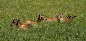 Rode herten, Cervus-elaphus in een Duits aardpark stock foto's