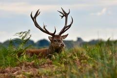 Rode herten, cervuselaphus stock foto