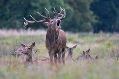 Rode herten, cervuselaphus royalty-vrije stock foto's