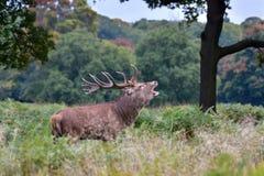 Rode herten, cervuselaphus royalty-vrije stock fotografie