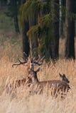 rode herten, cervuselaphus, Tsjechische republiek Stock Afbeeldingen