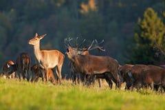 rode herten, cervuselaphus, Tsjechische republiek Stock Fotografie
