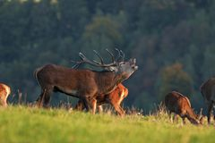rode herten, cervuselaphus, Tsjechische republiek Royalty-vrije Stock Foto's