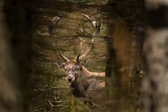 rode herten, cervuselaphus, Tsjechische republiek Royalty-vrije Stock Foto