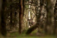 rode herten, cervuselaphus, Tsjechische republiek Royalty-vrije Stock Fotografie