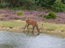 Rode herten die van vijver drinken Stock Foto's