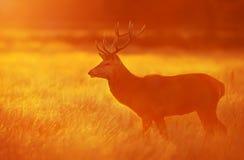Rode herten die zich in gras bij dageraad in de herfst bevinden royalty-vrije stock afbeelding