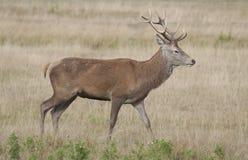 Rode herten - elaphus Cervus Stock Foto's