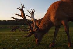 Rode Herten (elaphus Cervus) Stock Foto