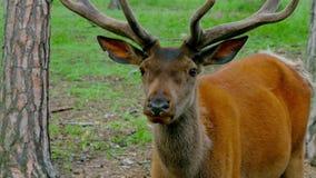 Rode herten in het bos stock footage