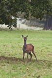 Rode herten: Het staren in de wildernis Royalty-vrije Stock Foto