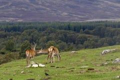 Rode herten hinds, Cervus-elaphusscoticus, die op gras met pijnboombos op achtergrond in september weiden in de rookkwartsennatie Royalty-vrije Stock Foto's