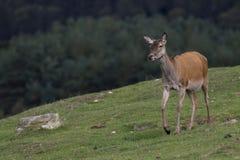 Rode herten hinds, Cervus-elaphusscoticus, die op gras met pijnboombos op achtergrond in september weiden in de rookkwartsennatie Stock Foto's