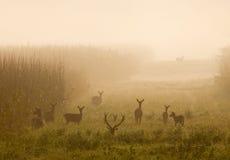 Rode herten met hinds Royalty-vrije Stock Afbeeldingen