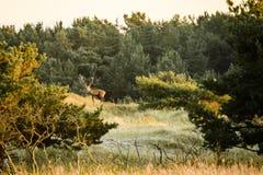 Rode herten op helling, Duitsland stock foto